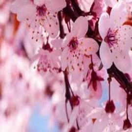 Essência Flor de cerejeira 100ml