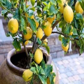 Essência Limão Siciliano (100 ml)